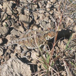 horny-toad-in-New-Mexico